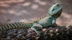 australian-water-dragon-1