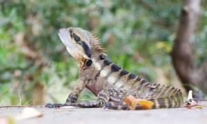 australian-water-dragon-2