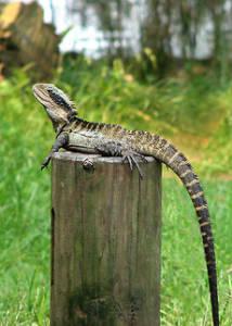 australian-water-dragon-3
