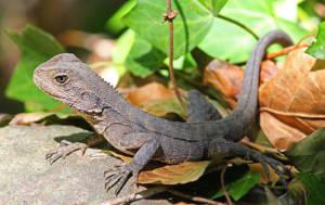 australian-water-dragon-4