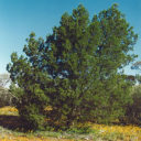 Australian-Emerald-Cypress-tree-500