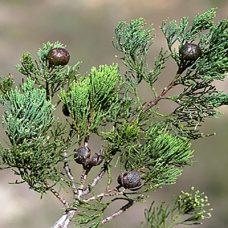Australian-blue-cypress-400x400