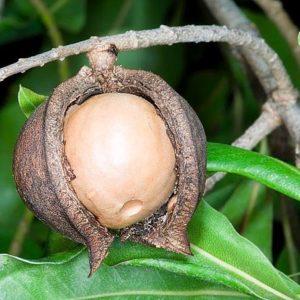 Macadamia-integrifolia-600x453