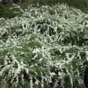 kunzea-ambigua-tree