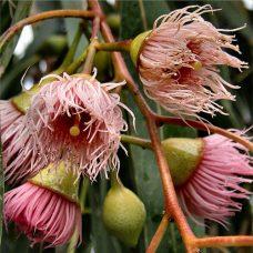 Eucalyptus-peppermin-gum-dives-flowers-500