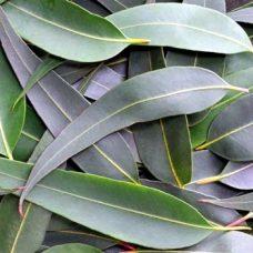 eucalyptus-blue-gum-Globulus-500