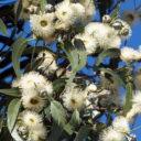 eucalyptus-globulus-2015