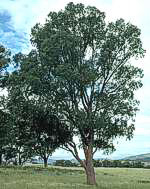Eucalyptus Australiana Essential Oil 12ml Australian