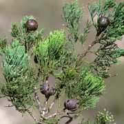 australian-blue-cypress-intratropica-small-web