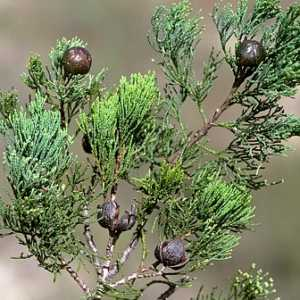 australian-blue-cypress-intratropica-small-web