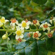 Frankincense-boswellia-carterii-1