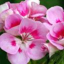 Rose-Geranium-500