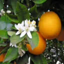 sweet-orange