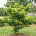 Ylang-Tree