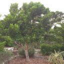 Clove-tree